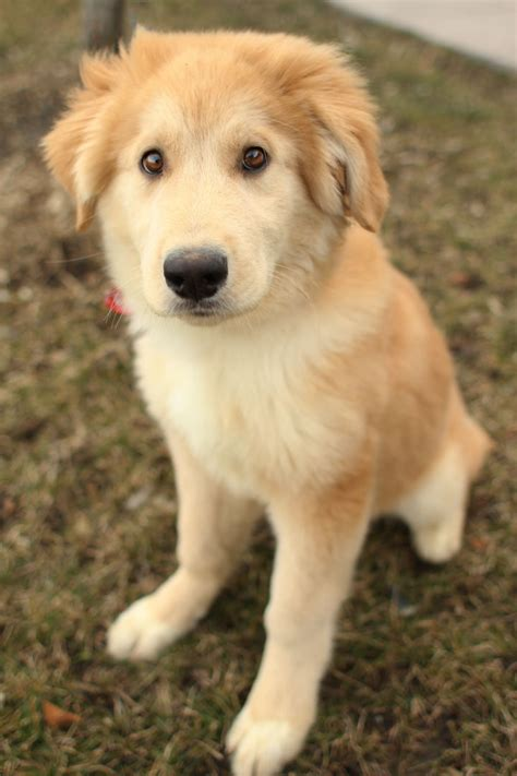 golden retriever german shepherd mix golden retriever husky mix pup 1