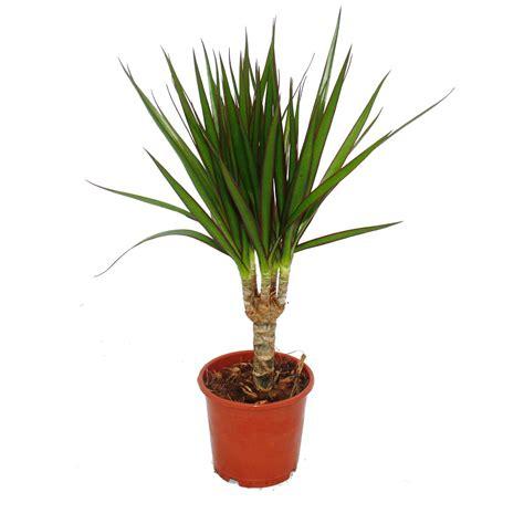 Winterharte Palmen Pflege 5797 by Palme Zimmerpflanze Raum Und M 246 Beldesign Inspiration