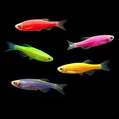 glofish colors glofish 174 information aquatic mag