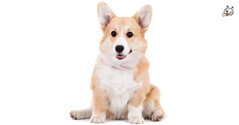 pembroke corgi puppies for sale in pembroke corgi puppies for sale puppies 4 all
