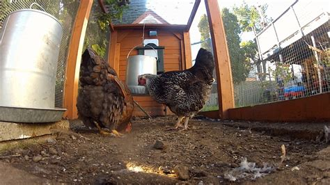 Backyard Chickens Vancouver Island Chicken Rentals Offer Test Run For Would Be Backyard