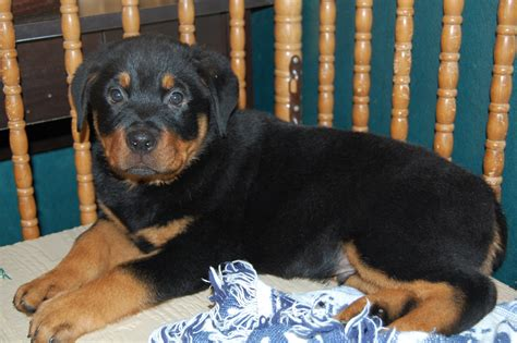 largest rottweiler breed largest rottweiler on record breeds picture