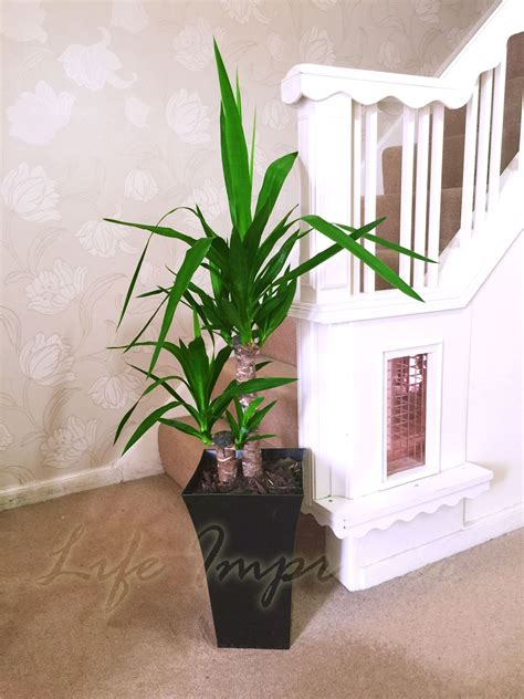 1 large indoor office house tree gloss pot palm