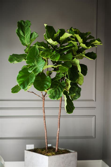 fiddle leaf fig fiddle leaf fig going green never looked so good moss manor