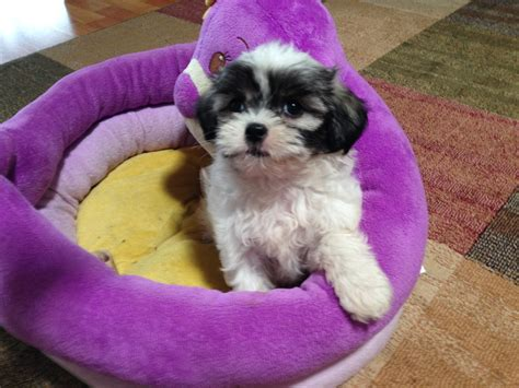 shih tzu puppies for sale in cedar rapids iowa yorkie shih tzu mix pictures image search results breeds picture