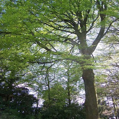 plymouth tree services tree trunk plymouth tree surgeons dartforest treeworks