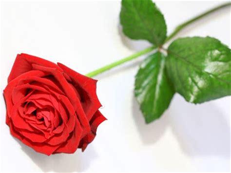 gambar setangkai bunga mawar gambar gratis