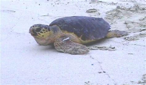tartarughe marine alimentazione le tartarughe marine