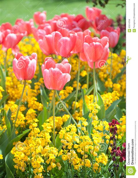 pink tulips in the garden stock photo image 63514764
