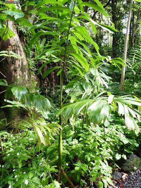 socratea exorrhiza le jardin des parfums et des pices