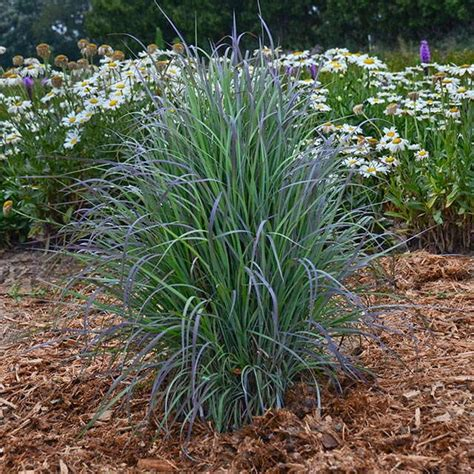 outstanding ornamental grasses for landscapes and