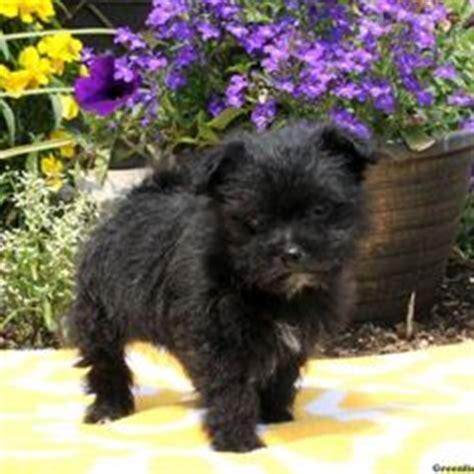 schipperke shih tzu mix 1000 images about shih tzu on shih tzu puppy shih tzu mix and puppies