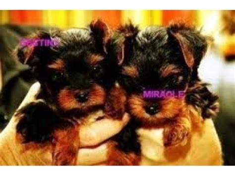 yorkie puppies for sale in new mexico extremely teacup yorkie puppies available for free adoption animals