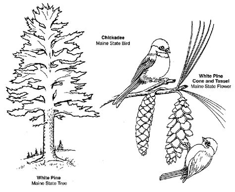 indiana state tree coloring page maine secretary of state kids page fun games