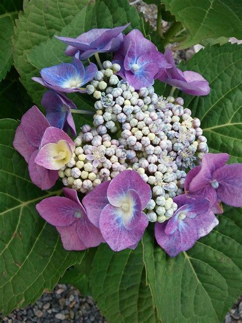 image gallery hydrangea varieties