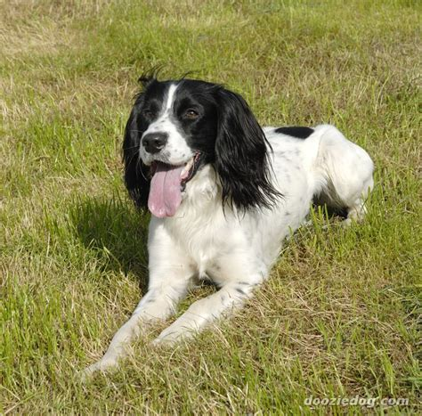 spaniel breeds spaniel breeds that dont shed breeds picture