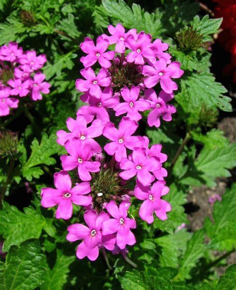 fiori di bach per bambini iperattivi verbena l erba di venere guarigione naturale