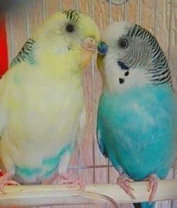 alimentazione passerotto cocorite e passerotti cocorite e pappagallini ondulati
