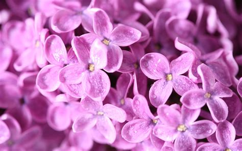 fiore definition purple images lilac flower hd wallpaper and background