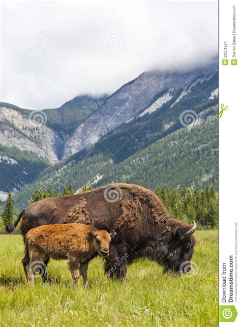 american bison  buffalo mother calf stock images