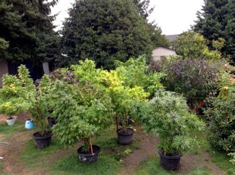 stealth ideas  growing weed outdoors grow weed easy