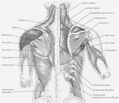 gallery muscles of the back and spine human anatomy chart