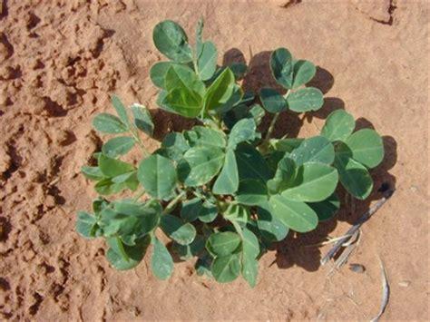 pp_peanut plant 01 | texas peanut program