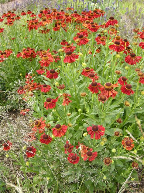 Shades Of Brown helenium moerheim beauty landscape architect s pages