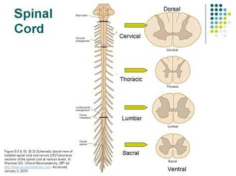 cross section of spinal cord at different levels フィットネスの勧め