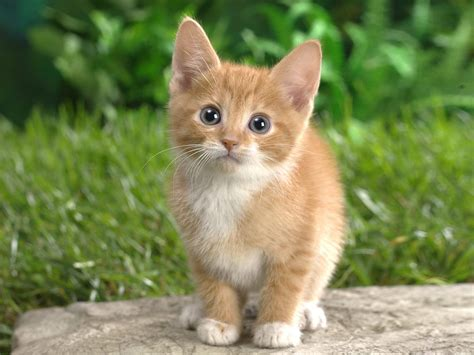 wallpapers beautiful cats hd wallpapers