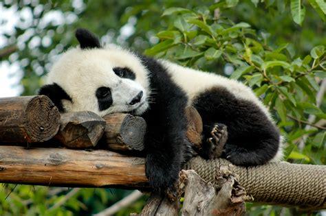 animal dormeur panda diplomacy the world s cutest ambassadors history