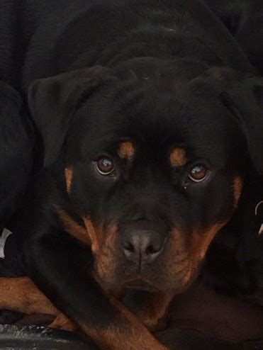 rottweiler puppies for sale cardiff beautiful rottweiler cardiff cardiff pets4homes
