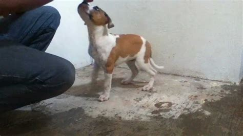 alimento para pitbull cachorro pitbull en entrenamiento