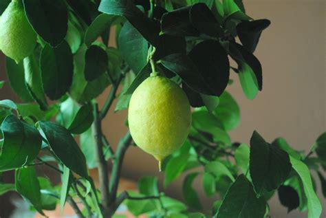 coltivare limone in vaso come coltivare il limone in vaso