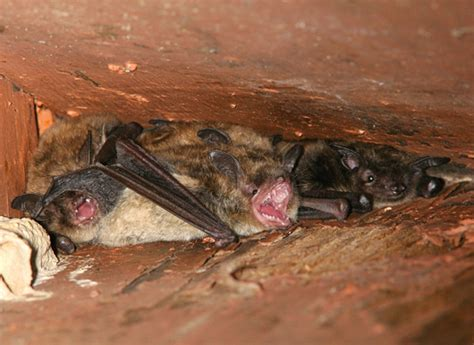 bats and bat capture removal by suburban wildlife