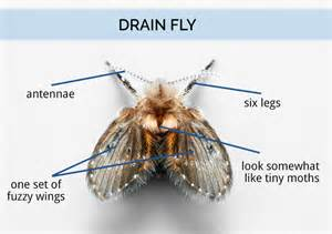 fruit flies in drain what are drain flies drain fly identification