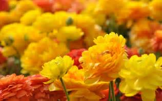 Hd Flower Images yellow red flowers hd wallpapers pictures photos images