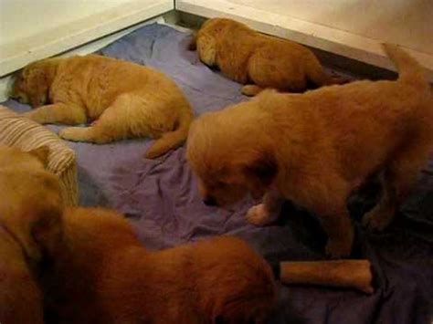 puppy cries puppies in whelping box