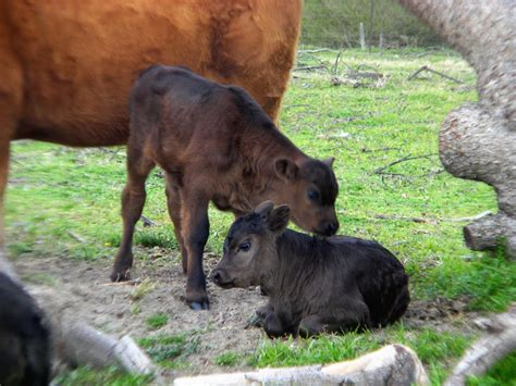 the rancher s baby cattleman s club the impostor books baby beef cows