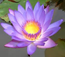 The Lotus Pad Pad Flowers Our World S View