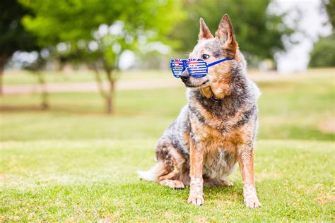 day with puppy celebrate australia day with your pooch dogslife breeds magazine