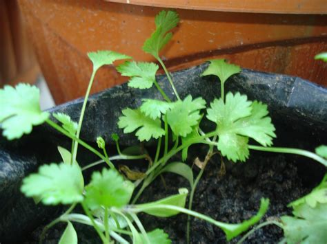Benih Daun Ketumbar rumahkubahagiaku cara menanam ketumbar coriander
