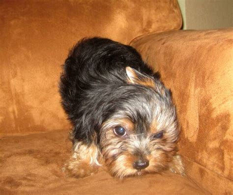 size of a yorkie images of standard size yorkies yorkie breeder baby doll breeds picture