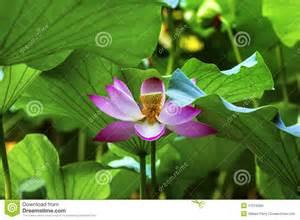 Pink Lotus Stamen Pink Lotus Flower Stamen Up Beijing China Stock