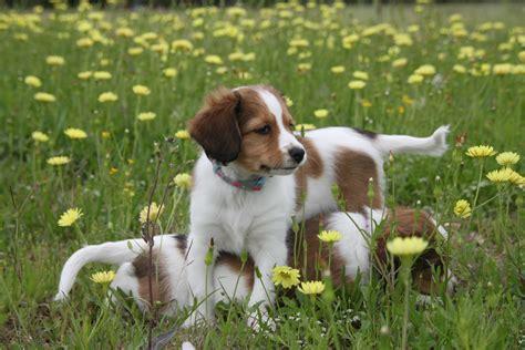 kooikerhondje puppies more information golden gate kooikers