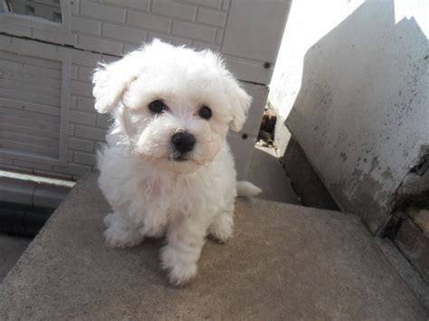 puppy prices bichon frise puppy prices