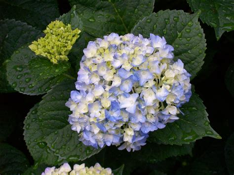related keywords suggestions for hydrangea plant care