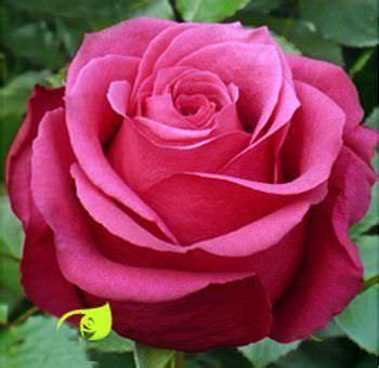 imagenes de rosas unicas en el mundo las flores m 225 s bonitas ycomo