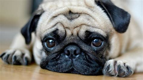 what is the expectancy of a pug 30 least expensive breeds gobankingrates