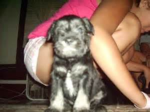 miniature schnauzer puppies for sale in iowa white miniature schnauzer puppies for sale in iowa design breeds picture